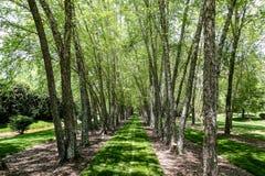 Hierba verde enorme entre los árboles de abedul Fotos de archivo libres de regalías