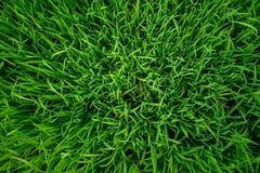 Hierba verde enorme fresca natural fotografía de archivo libre de regalías