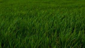 Hierba verde enorme y fresca Foto de archivo libre de regalías