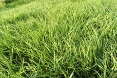 Hierba verde Extracto, pureza fotos de archivo libres de regalías