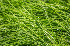 Hierba verde fina Imagen de archivo