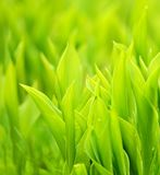 Hierba verde fresca Fotos de archivo libres de regalías
