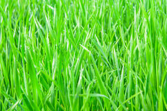 Hierba verde fresca Fotografía de archivo libre de regalías