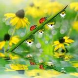 Hierba verde fresca con descensos de rocío y mariquitas Foto de archivo libre de regalías