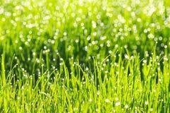 Hierba verde fresca con descensos de roc?o de la ma?ana fotografía de archivo