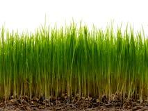 Hierba verde fresca con la raíz y el rocío Imagen de archivo libre de regalías