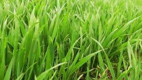 Hierba verde fresca del trigo metrajes