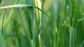 Hierba verde fresca grande que se mueve en el viento almacen de video