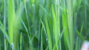 Hierba verde fresca grande que se mueve en el viento metrajes