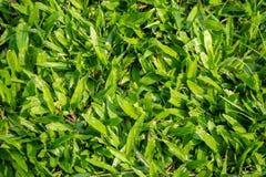Hierba verde grande fresca con luz del sol en la tierra en el parque para el fondo imagen de archivo