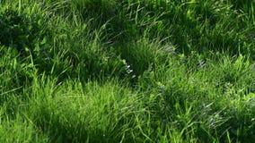 Hierba verde joven en la primavera, fragmento almacen de video