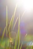 Hierba verde jugosa en los rayos de un sol Imagen de archivo libre de regalías
