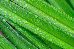 Hierba verde jugosa fresca con descensos de rocío Foto de archivo libre de regalías