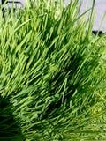 Hierba verde 4k del trigo al aire libre Imágenes de archivo libres de regalías