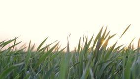 Hierba verde Lanzamientos del trigo en el campo almacen de metraje de vídeo