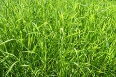 Hierba verde larga imagen de archivo libre de regalías