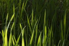 Hierba verde larga imagen de archivo
