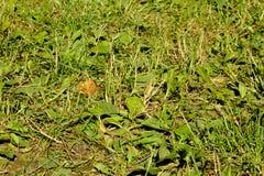 Hierba verde, mezcla de diversas plantas con el llantén Foto de archivo