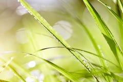 Hierba verde mojada en descensos de rocío Foto de archivo libre de regalías