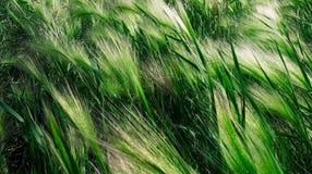 Hierba verde movida por el viento Fotos de archivo libres de regalías