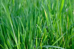 Hierba verde natural foto de archivo libre de regalías