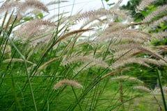 Hierba verde que se sacude en el viento Fotos de archivo
