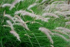 Hierba verde que se sacude en el viento Fotografía de archivo