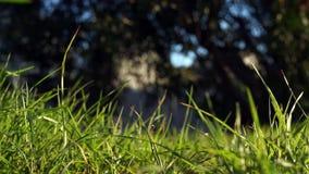 Hierba verde sin cortar larga que sopla en el corredor del viento que pasa a través en un fondo oscuro almacen de metraje de vídeo