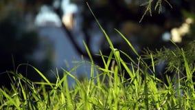 Hierba verde sin cortar larga que sopla en el fondo de la oscuridad del viento almacen de video