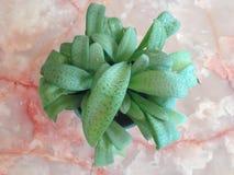 Hierba verde tailandesa. Imagen de archivo libre de regalías