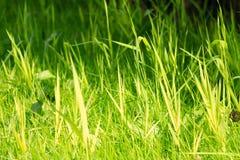 Hierba verde vibrante con el pequeño DOF Imagen de archivo libre de regalías