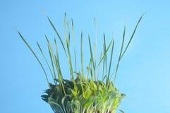 Hierba verde y fondo azul Foto de archivo