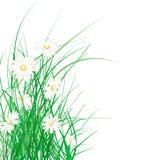 Hierba verde y margaritas del resorte Imagen de archivo