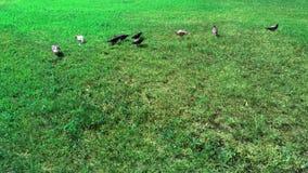 hierba verde y varias palomas Foto de archivo