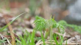 Hierba y bosque que la primera hierba en el bosque creció en primavera, naturaleza metrajes
