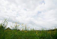 Hierba y campos de flor amarillos del cáñamo Imágenes de archivo libres de regalías