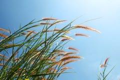 Hierba y cielo azul Foto de archivo