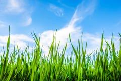 Hierba y cielo nublado Fotografía de archivo libre de regalías