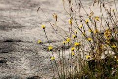 Hierba y flor amarillas en el prado Fotografía de archivo libre de regalías