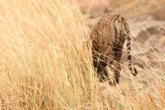 Hierba y fuera del tigre del foco en fondo Fotografía de archivo libre de regalías