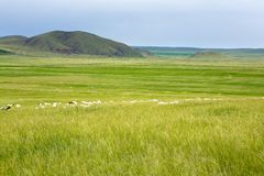 Hierba y ovejas foto de archivo
