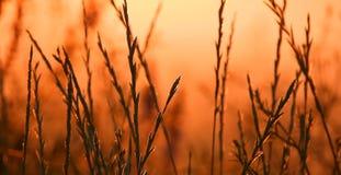 Hierba y puesta del sol, tiempo de verano fotografía de archivo