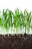 Hierba y raíces de avena Foto de archivo