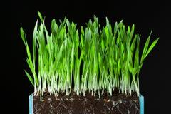 Hierba y raíces de avena Imagen de archivo