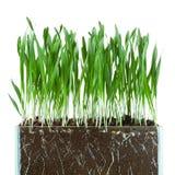 Hierba y raíces de avena Fotos de archivo