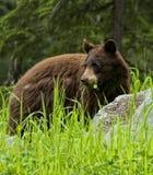Hierba y trébol de Eatting del oso negro Fotografía de archivo