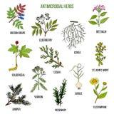 Hierbas antimicrobianas Sistema dibujado mano de plantas medicinales libre illustration