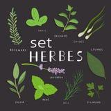 Hierbas aromáticas fijadas Hierbas frescas y especias fijadas Ilustración del vector EPS 10 Fotografía de archivo libre de regalías