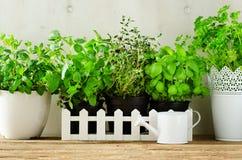 Hierbas aromáticas frescas verdes - toronjil, menta, tomillo, albahaca, perejil en potes, regadera en el fondo blanco y de madera imagen de archivo