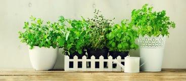Hierbas aromáticas frescas verdes - toronjil, menta, tomillo, albahaca, perejil en potes, regadera en el fondo blanco y de madera fotos de archivo libres de regalías